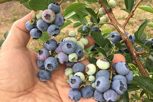 Blueberries from Ukraine Farm 2